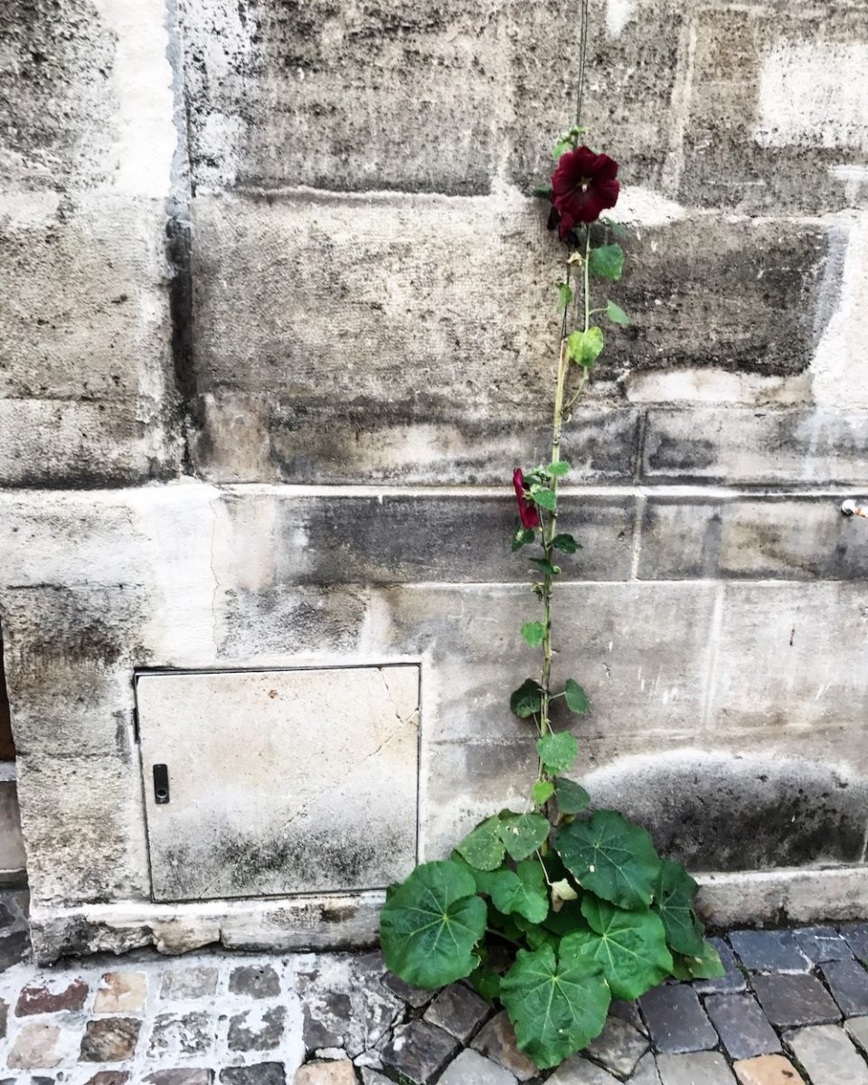 rose-tremiere-bordeaux-paves